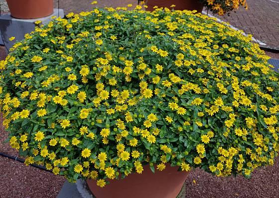 Sanvitalia procumbens - vitálka položená
