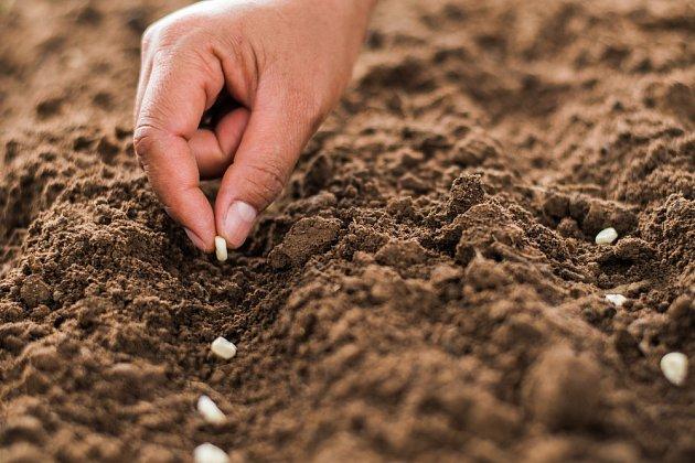 Setí do žlábků zajistí rostoucím kukuřicím lepší stabilitu