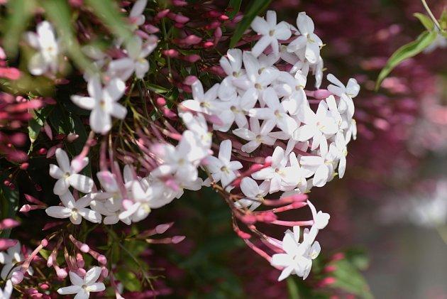 Jasmín (Jasminum Polyanthum)