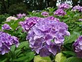 Hortenzie jsou keře, stromy a někdy i liány s jednoduchými vstřícnými listy a květy v bohatých květenstvích.