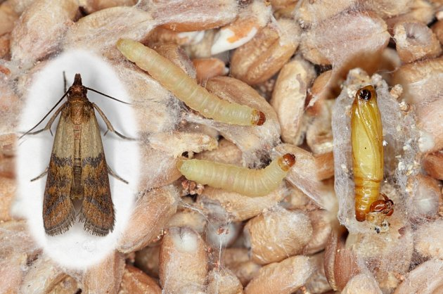 Vývojová stádia zavíječe paprikového (Plodia interpunctella).