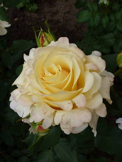 Růže odrůdy Sunny Sky