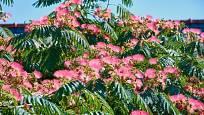 albízie růžová (Albizia julibrissin)