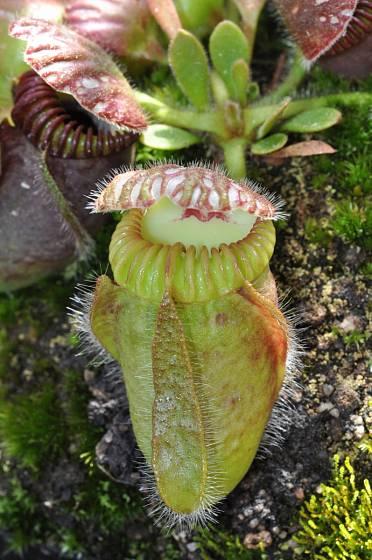 láčkovice Cephalotus folliculari