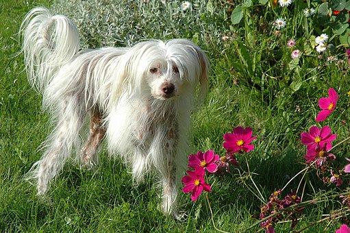 čínský chocholatý pes - se srstí