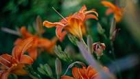 denivky (Hemerocallis)