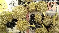 Cibule zimní maďarská, dosušení sklizně na osivo na jaře