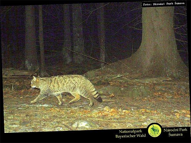 Noční snímek z fotopasti odhalil přítomnost kočky divoké na Šumavě
