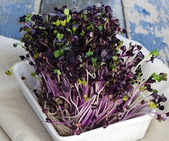 Naklíčená semena ředkvičky