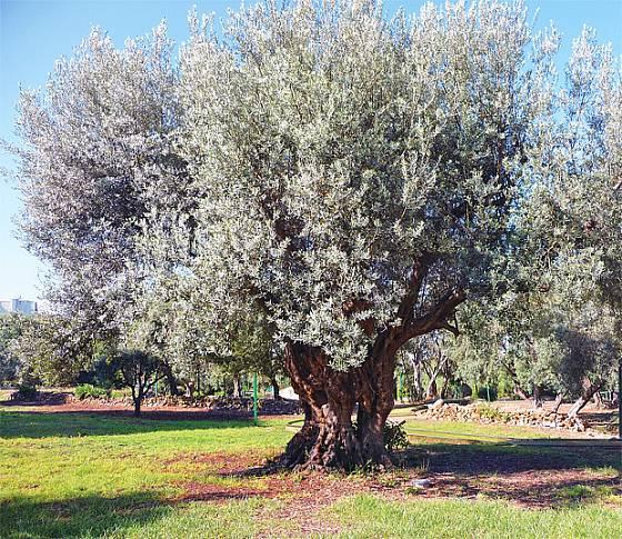Stromy olivovníku mohou být staré více než tisíc let