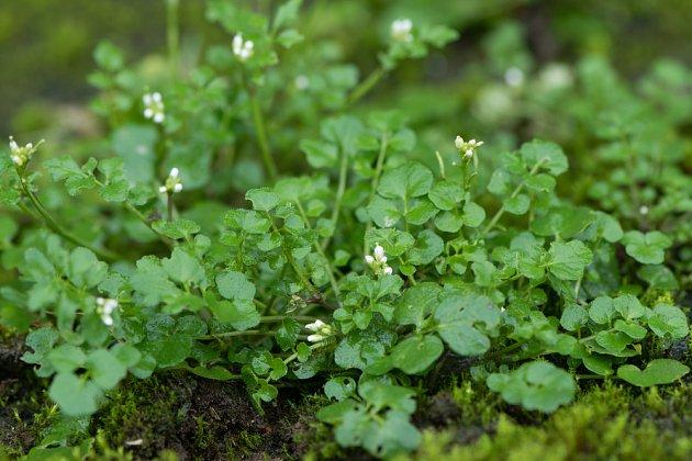 řeřišnice srstnatá (Cardamine hirsuta)