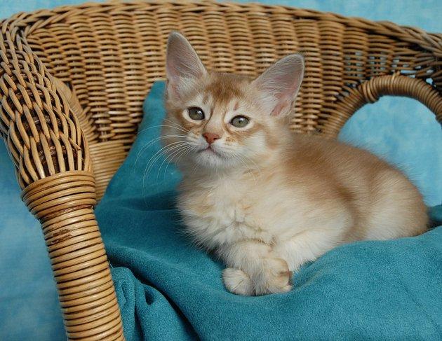 Červenohnědá stříbřitá somálská kočka.