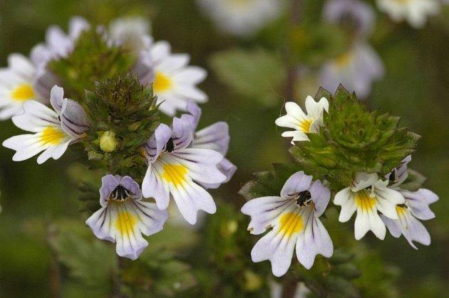 světlík lékařský, Euphrasia officinalis, syn. Euphrasia rostkoviana