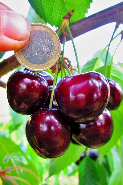 Středně raná odrůda třešně Christiana