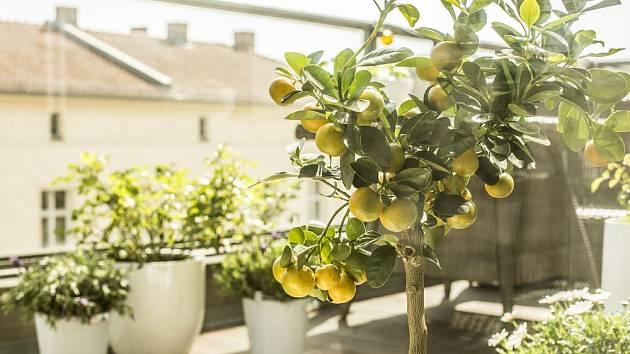 V prostorných nádobách můžeme pěstovat i přenosné rostliny, jako jsou citrusy