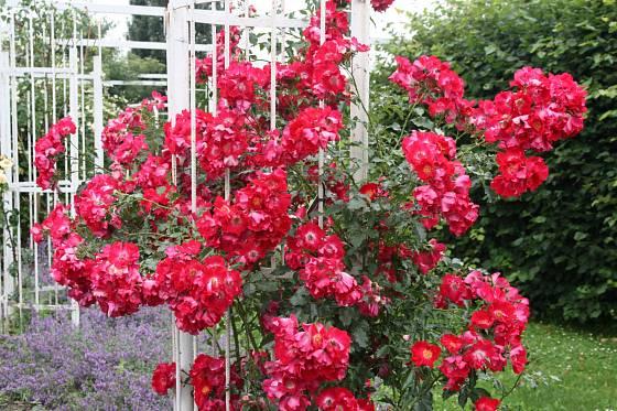 Dortmund (Kordes, Německo, 1952). Svítivý, červenofialový jednoduchý květ s 5 plátky asi 7 cm velký, zvláštní lesklé listy, velké šípky; výška růže 2,5 m. Opakovaně kvetoucí