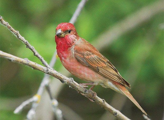 Hýl rudý (Carpodacus erythrinus)