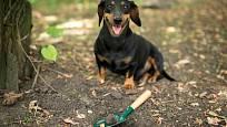 Na hledání lanýžů nepotřebujete vepříka, můžete vycvičit i svého psa.