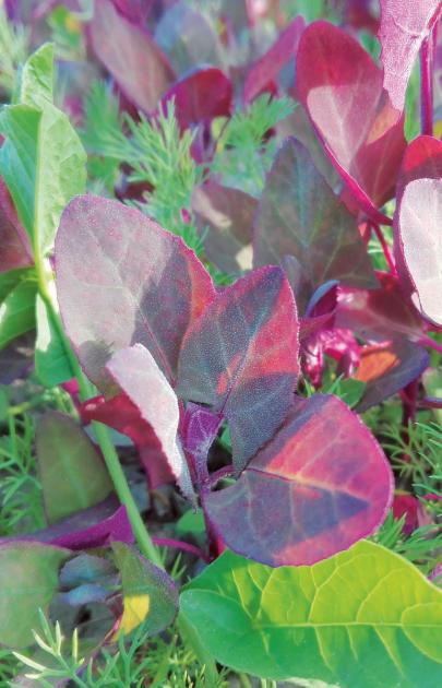 Trochu pozapomenutá salátová bylina lebeda zahradní