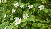 Mišpule krásně kvete