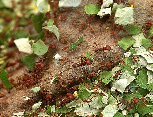 Mravenci rodu Atta nosí do hnízda rozstříhané listy