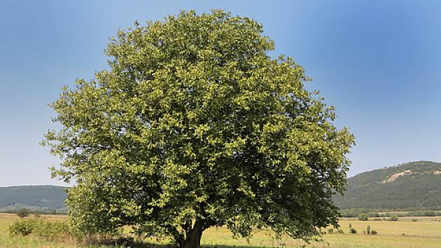 strom ořešáku