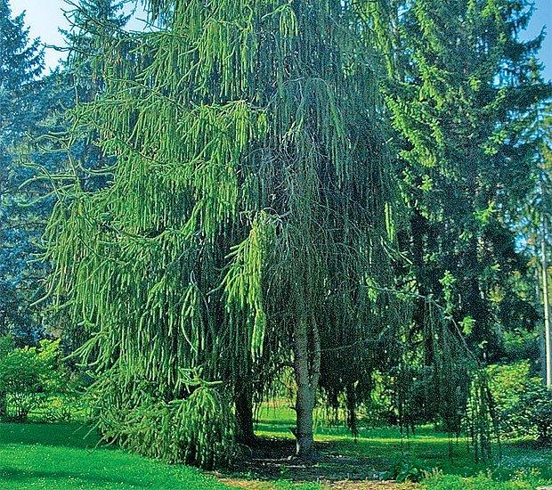 "Picea abies ""Viminalis"""