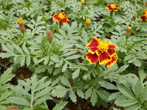 Aksamitník (Tagetes patula) klasického vzhledu