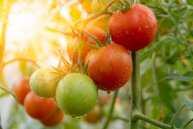 Pusťte k rajčatům slunce