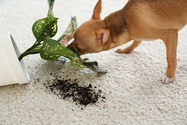 Mnozí psi si jedovatou kořist naštěstí jen očuchají.