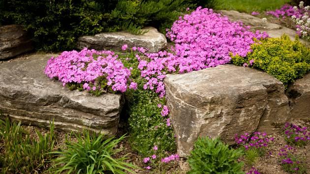 Plamenka šídlovitá vytváří bohatě kvetoucí polštáře.
