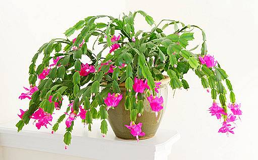 Vánoční kaktus (Schlumbergera truncata)