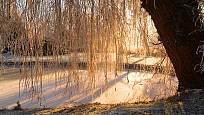 vrba náhrobní (Salix sepulcralis)