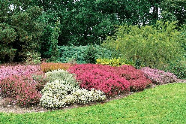 Ukázkové vřesoviště si můžeme prohlédnout třeba v Dendrologické zahradě v Průhonicích