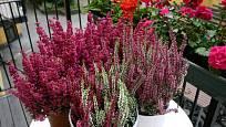 Vřesy a vřesovce můžeme pěstovat i v nádobách.