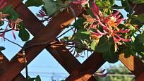 Zimolez zpestří treláž atraktivními květy.