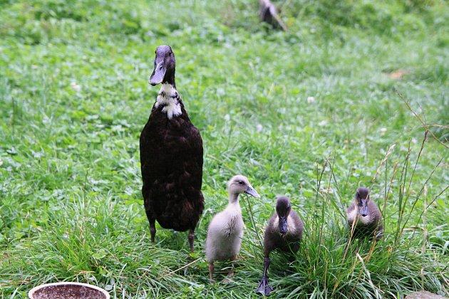 kachna s mláďaty