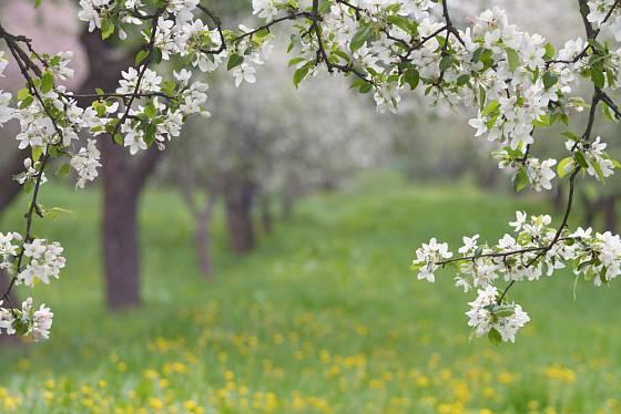 Kvetoucí jabloně.