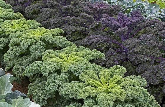 Zelený a fialový kadeřávek vypadá na záhoně dekorativně
