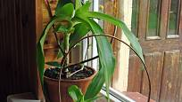 Kalísii voňavé (Callisia fragrans) se dobře daří na okenním parapetu.