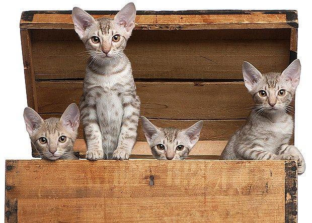 Krásné plemeno vzniklo křížením siamských a habešských koček