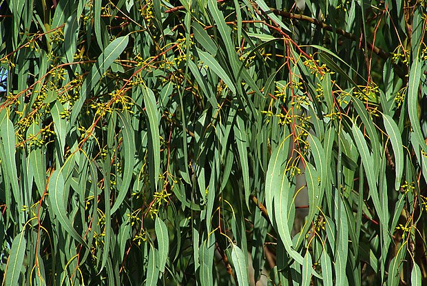 Vonné silice eukalyptu čistí dýchací cesty