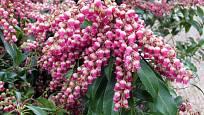 Korálky růžových květů pierisu jsou stejně zajímavé jako vybarvené listy