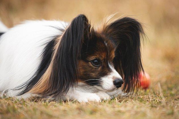 Papillon je kontaktní pes, velmi milý, otevřený a díky vysoké inteligenci se velice rychle učí.