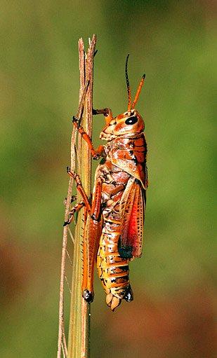 Romaela microptera