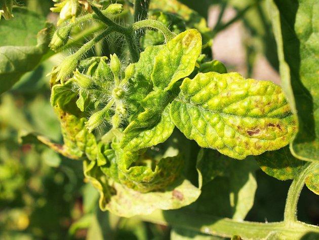 Plísňové choroby jsou jedním z nejčastějších a nejzákeřnějších důvodů žlutých listů na rajčatech.