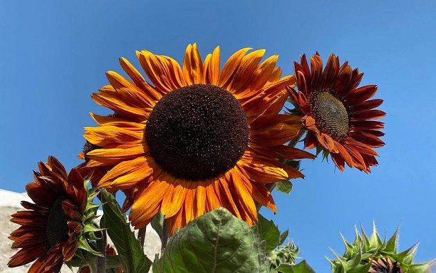 Slunečnice seženete v různých barvách i velikostech.