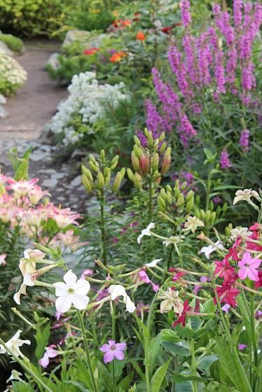Okrasné tabáky dorůstají výšky mezi 60 - 120 cm, takže se v tomto ohledu mohou vyrovnat dokonce liliím.