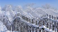 Sněhová pokrývka je pro révu lepší, než silné holomrazy