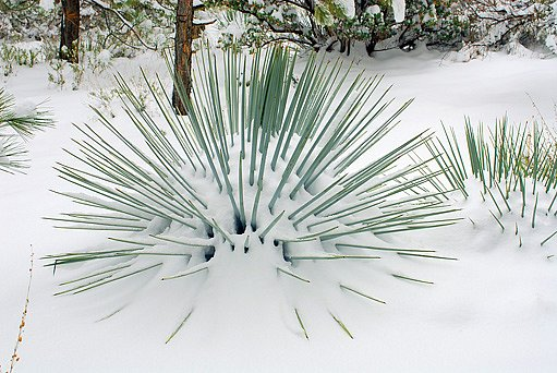 yucca zvládá i teploty do -23 °C